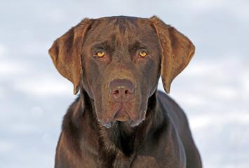 Portrait  of beautiful chocolate Labrador Retriever looking ahead Wall mural