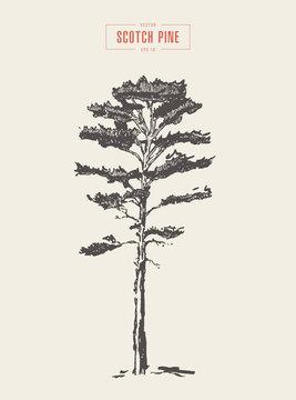 Vintage scotch pine hand drawn vector detail
