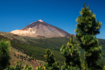 View of Teide volcano through rare thickets of coniferous trees, Tenerife, Spain.