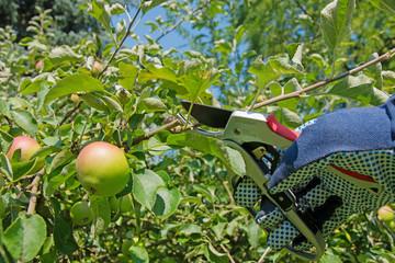 Obstbaumschnitt,Apfelbaum im Sommer