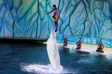 A trainer is lifted up by a beluga during a show in Zhuhai