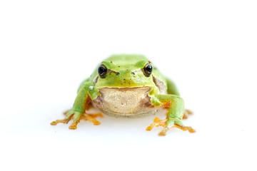 green european common frog Hyla meridionalis on white background