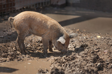 little dirty cute piggy looking for food, rummaging in a puddle
