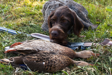 german wirehaired pointer and hunting trophy
