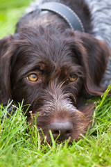 german wirehaired pointer on the grass