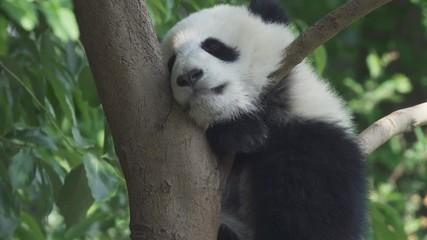 Wall Mural - Panda baby bear sleeping on the tree