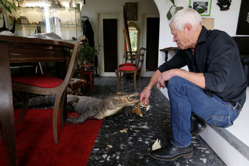 Philippe Gillet, 67 year-old Frenchman who lives with more than 400 reptiles and tamed alligators, gives chicken to his alligator Gator in his living room in Coueron near Nantes