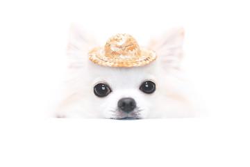 麦わら帽子とチワワ 2