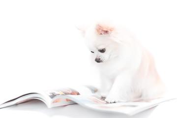 雑誌を読むチワワ