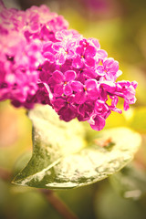 blooming lilac, close-up