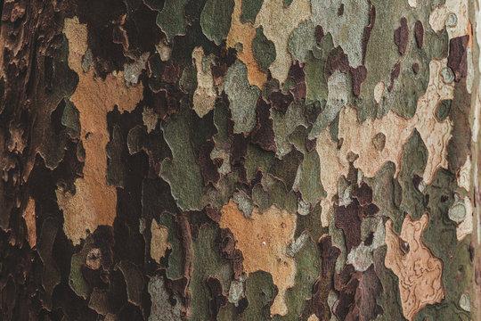 bark sycamore