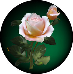 cream roses on dark green circle background