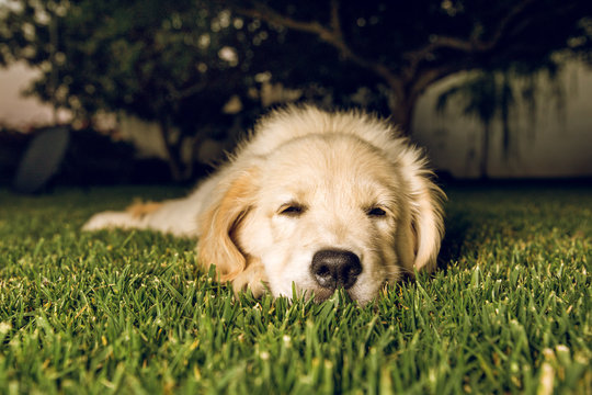 Portrait of a puppy golden retriever dog very pretty and adorable.Puppy sleeping on the lawn