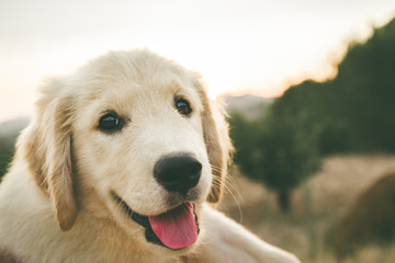 Close up of a puppy dog of the golden retriever breed. Puppy looking at the Camera