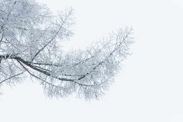 winter frosty branches on a white background