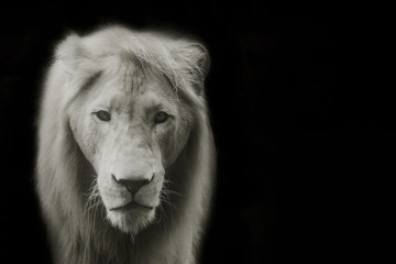 Close up lion with black background.