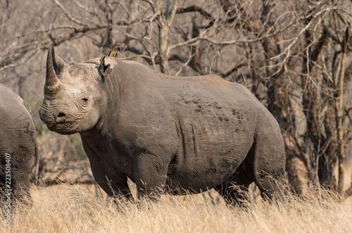 Wild black rhino in natural environment, full body