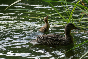 mother duck and her child