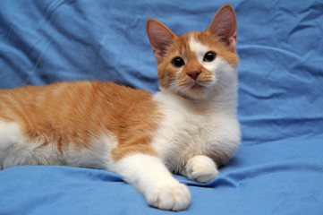 young redhead with white cat on a blue background