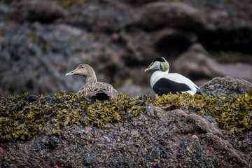 Eider male and female duck on the rocks resting. brown background. shallow depth of field