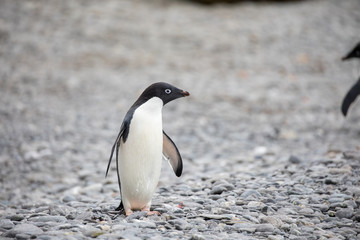 penguin in the arctic
