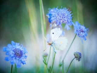 Schmetterling Kohlweißling klammert sich an blauen Klee