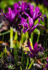 Iridodictyum (iris reticulata) on flower bed