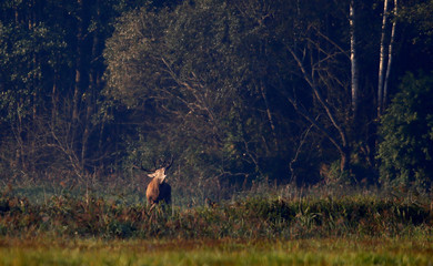"Male deer roars in a field in Republican landscape reserve ""Nalibotsky"" near the village of Kozliki"