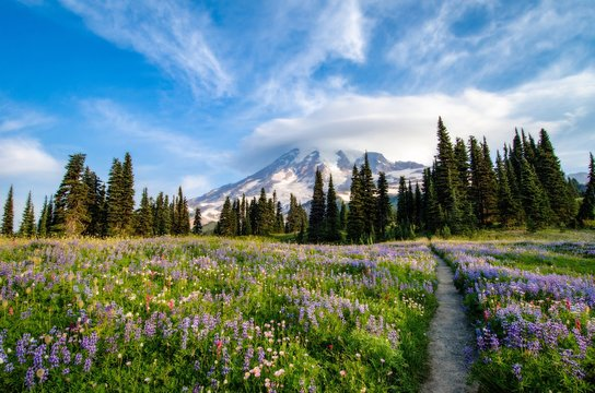 Trail through a Wildflower Meadow at Mount Rainier
