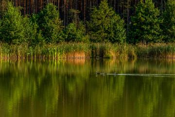 stado perkozów na jeziorze