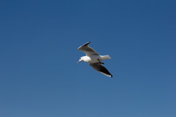 White seagull flying in the blue sky