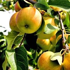 der spätsommer bringt süsse äpfel