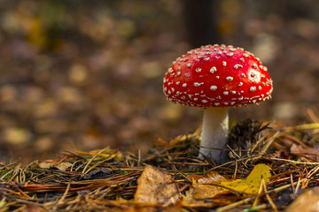 fly agaric.mushroom in forests. Wall mural