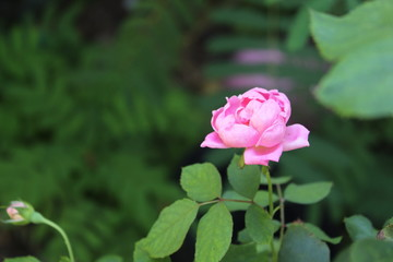 A single pink rose bloom