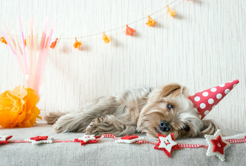 Cute Yorkshire Terrier (Yorkie) Dog in red party hat cap lies on table on the background of festive garland and decor. After party, When the party is over, holiday ended.