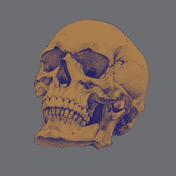 Realistic Hand Drawn Vector  Skull. Dotted Technique.