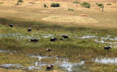 A herd of elephants is seen grazing at a wild life area, after reports that conservationists have discovered 87 of them slaughtered just in the last few months, outside Kasane