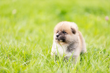 Red japanese akita puppy walks outdoor at park