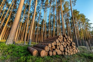 Stos ściętych drzew w lesie sosnowym
