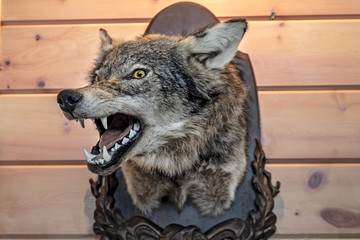 Head of the stuffed wolf on a wooden wall. Bared mouth.