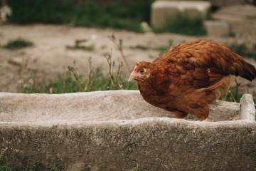 chicken in feeding trough