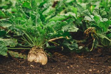 Sugar beet root crop organically grown Fotomurales