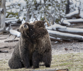 Wall Mural - Grizzly Cub Playing with Mother