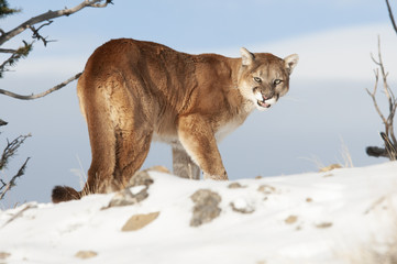 Growling Cougar in Winter