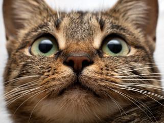 Pink nose of a gray cat close up