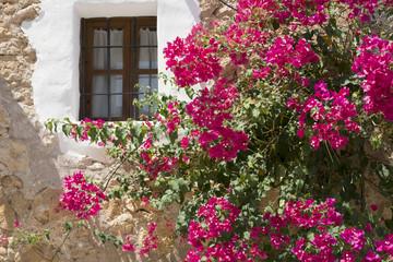 Colourful bougainvillea around the window of a Mallorca villa
