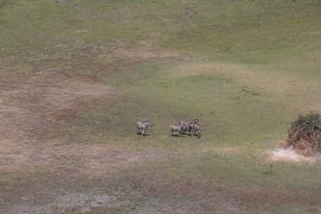 zebra walking in africa around
