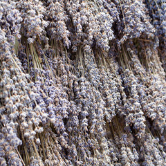 bouquets of dry lavender are densely hanging in rows in the window at the fair or market