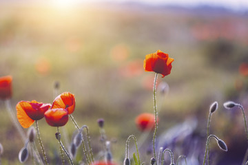 Close up of poppies blooming during sunset