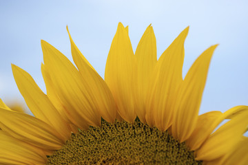 Cropped image of sunflower growing against clear sky